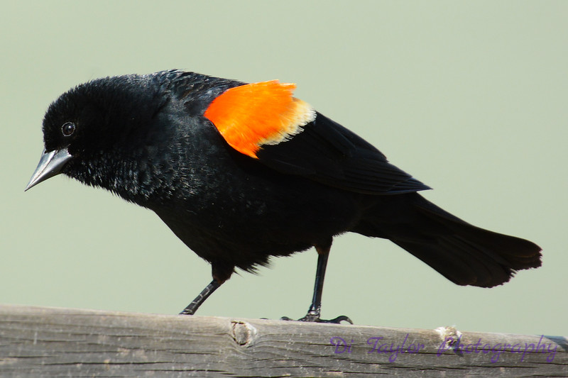 Red Winged Blackbird on Fence