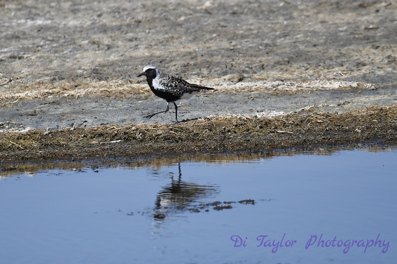 Black Bellied Plover 2 30 May 2019