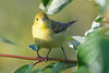 Yellow Warbler 3  5 Aug 2019