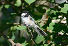 Chickadee in tree 2
