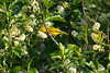 Yellow Warbler in flowering dogwood
