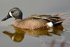 Blue Winged Teal Male 1