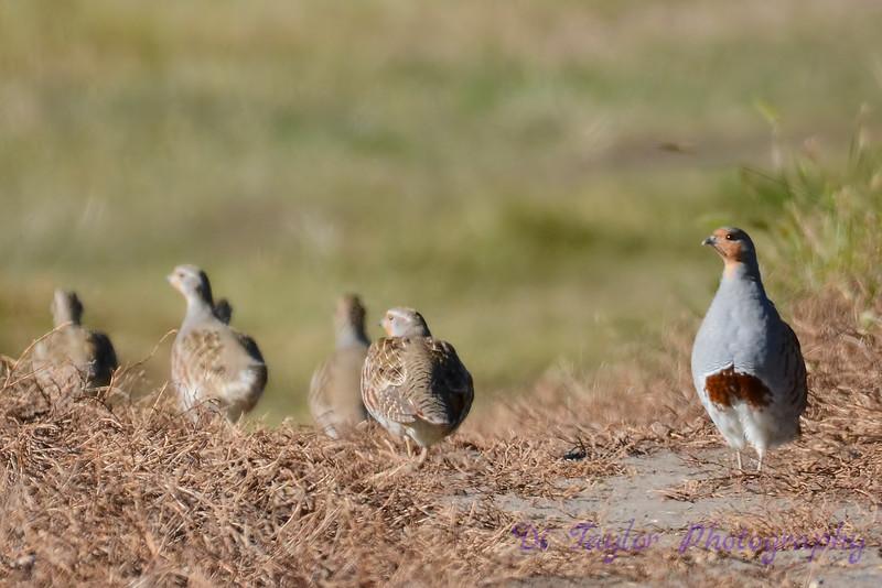 Gray partridges 3