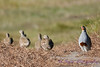 Gray partridges 3