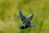 Black Tern brown variation hovering