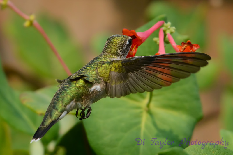 Female Ruby Throated Hummingbird with honeysuckle trumpet flower 4