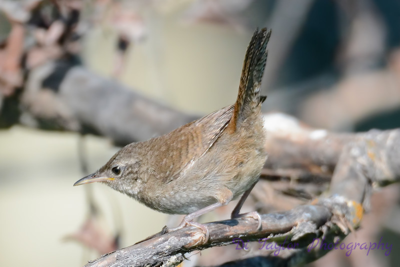 House Wren in forest