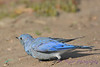 Mountain Bluebird young male  4  Aug 22 2017