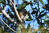 Spotted Towhee Sep 16 2020