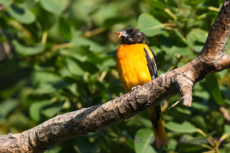 Baltimore Oriole July 31 2020