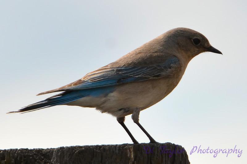 Bluebird (female) on top of birdhouse