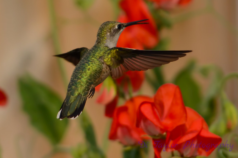 Female Ruby throated hummingbird 11