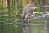 Black Crowned Night Heron juvenile 6 Aug 25 2018