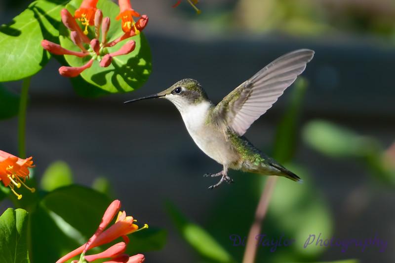 Female Ruby Throated Hummingbird 2015 4