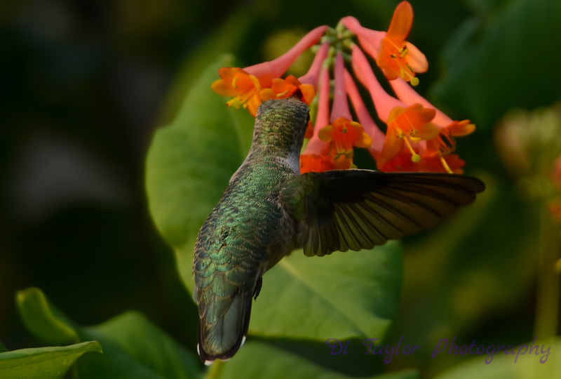 Female Ruby throated hummingbird 18