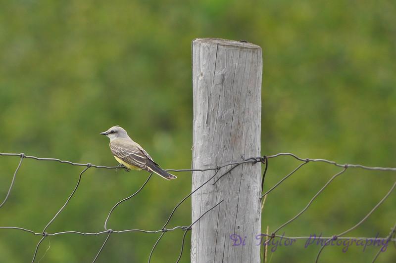 Western Kingbird, Saskatchewan