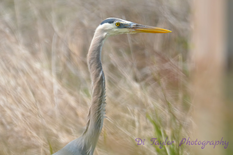 Great Blue Heron  14 Jul 2017