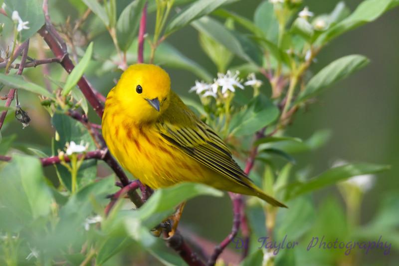 Yellow Warbler male 3  14 Jun 2019