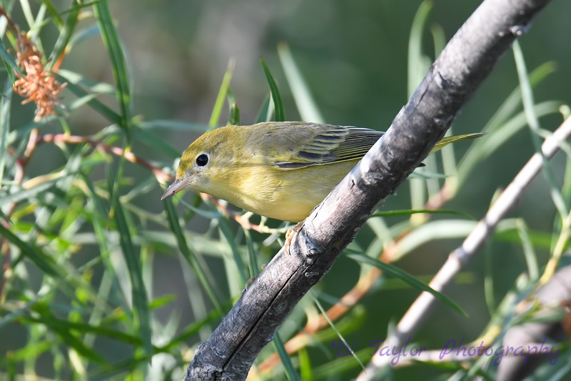 Yellow Warbler Aug 2 2020