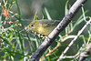 Yellow Warbler Aug 2 2020