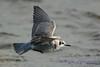 Black Tern gray variation in flight