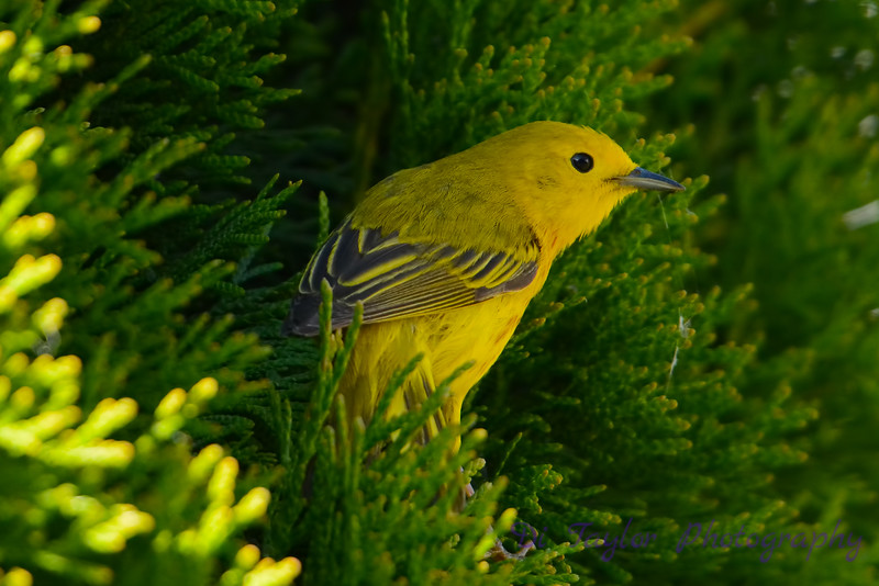 Yellow warbler in cedar 2