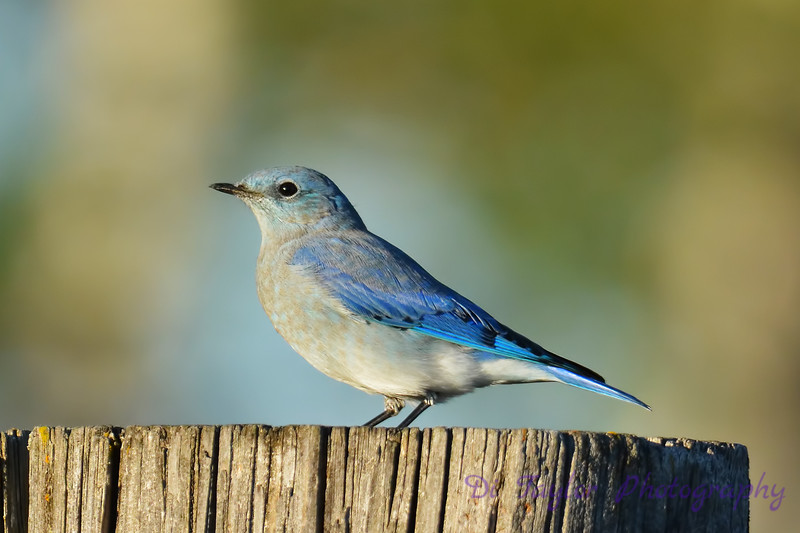 Mountain Bluebird juvenile male 5  Sep 4 2017