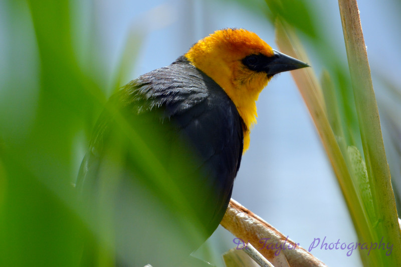 Yellow headed blackbird 10