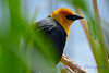 Yellow headed blackbird 10