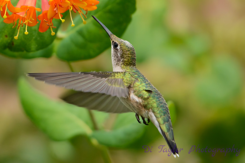 Female Ruby Throated Hummingbird with honeysuckle trumpet flower 35