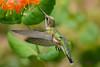 Female Ruby Throated Hummingbird with honeysuckle trumpet flower 35