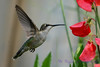 Female Ruby Throated Hummingbird with sweet peas 3