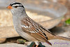 White crowned sparrow closeup
