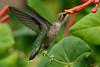 Female Ruby Throated Hummingbird with honeysuckle trumpet flower 32