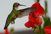 Female Ruby Throated Hummingbird with sweet peas 9