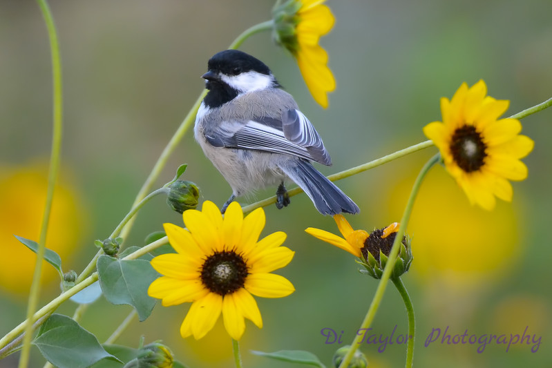 Chickadee in Daisies 4  Aug 17 2017