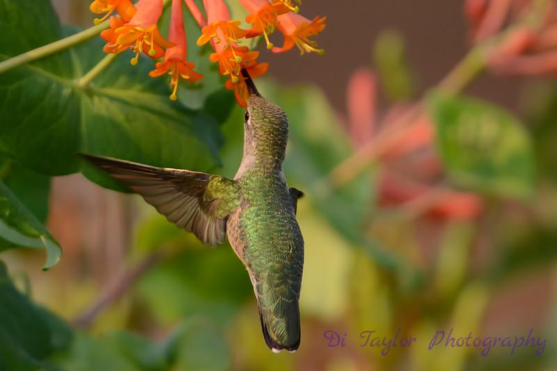 Female Ruby throated hummingbird 15