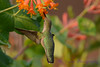 Female Ruby throated hummingbird 15