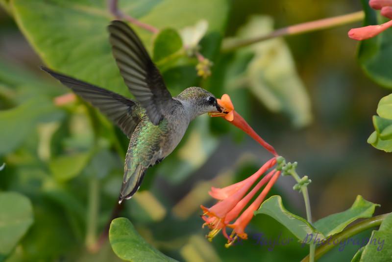 Female Ruby throated hummingbird 13