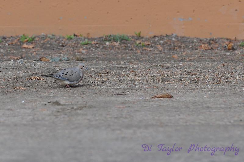 Mourning dove, Saskatchewan