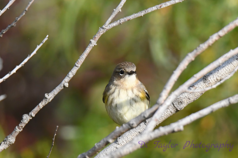 Yellow Rumped Warbler 7 Sep 13 2020