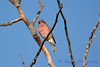 Purple Finch 2  Sept 2 2017