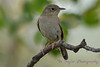 House Wren 2  30 Jul 2017