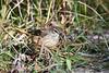 Palm Warbler 3 Sep 16 2020