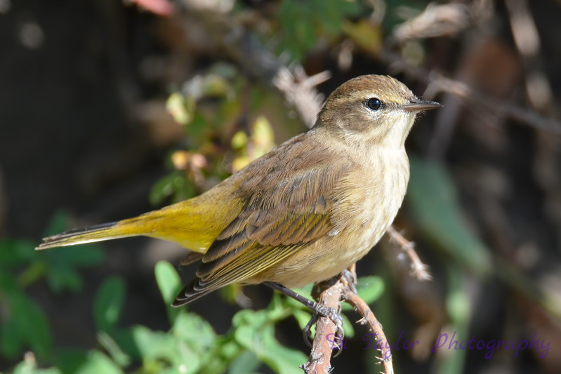 Palm Warbler Non breeding  3  Sep 4 2017