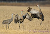 Sandhill Crane family unit cavorting