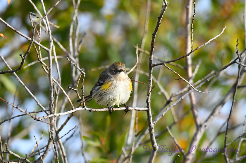 Yellow Rumped Warbler 2 Sep 13 2020