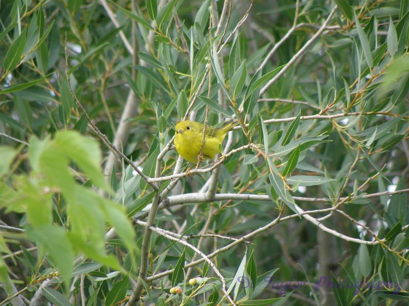 Yellow Warbler in summer, Saskatchewan