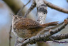 Winter Wren 4  28 Jul 2017
