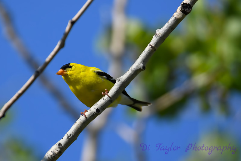 American Goldfinch 4 July 6 2018